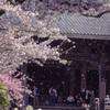 桜、散る頃