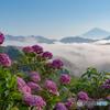 雲海と紫陽花と富士