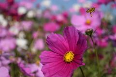 コスモスを後にするミツバチ