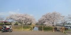 川越市伊佐沼公園の桜㉚