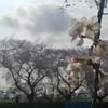 川越市伊佐沼公園の桜㉒