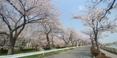 川越市伊佐沼公園の桜㉝