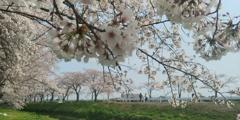川越市伊佐沼公園の桜㉔