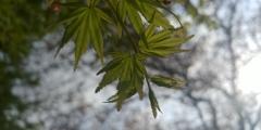 川越市伊佐沼公園の桜⑧