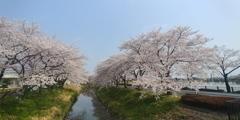 川越市伊佐沼公園の桜㉛