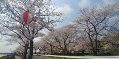 川越市伊佐沼公園の桜㉜