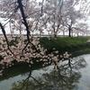 川越市伊佐沼公園の桜㉗