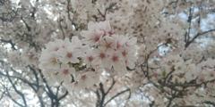 川越市伊佐沼公園の桜⑩