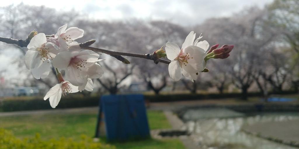 川越市伊佐沼公園の桜㉓
