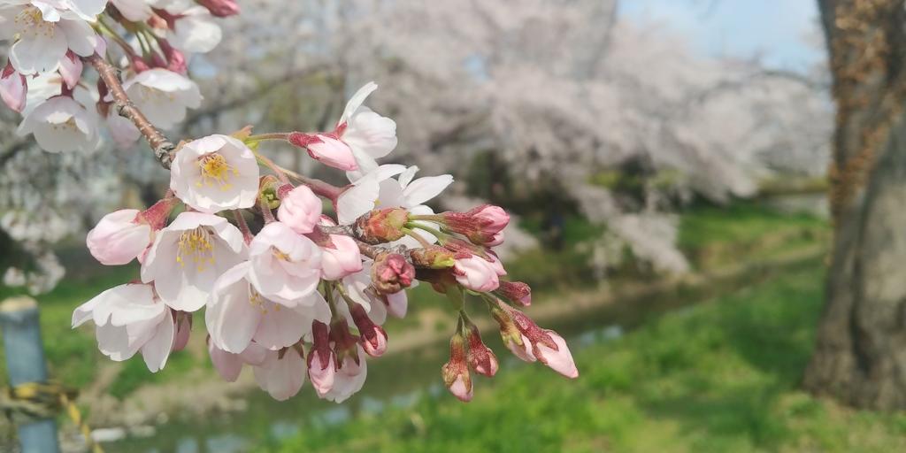 川越市伊佐沼公園の桜㉞