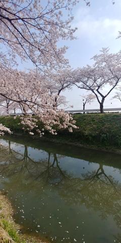 川越市伊佐沼公園の桜㉖