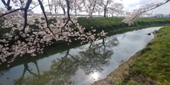川越市伊佐沼公園の桜㉘