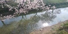 川越市伊佐沼公園の桜㉙