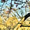 メジロと河津桜の蜜