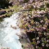 石神井川と桜 濃い味