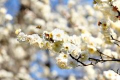 パラダイスに向かうミツバチ