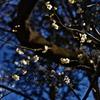 空中にはじける梅の花
