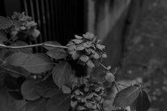 底に咲くアジサイ