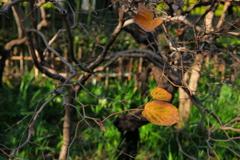 残る緑色は葉の心