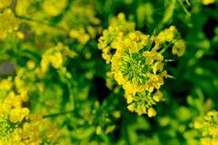 朝の菜の花