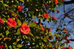 朝日に照らされる山茶花