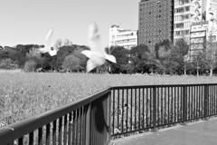 不忍池を飛び回る鳥