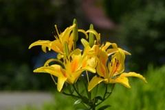 ひるがの高原に咲く花3