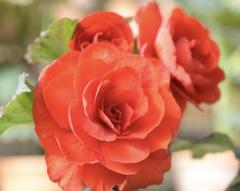 真っ赤な花