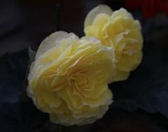 クリームのような花