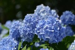 ひるがの高原に咲く花1