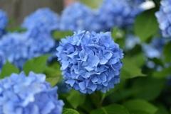 ひるがの高原に咲く花2