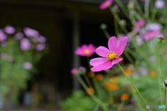 実家の庭に咲いたコスモス