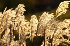 その穂は金色に輝く