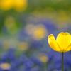 黄一輪(お花の時間)