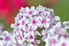 Miss.flower