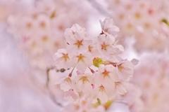桜 (お花の時間)