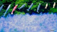 ネモフィラの大海を泳ぐ鯉のぼり