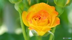 オレンジな薔薇