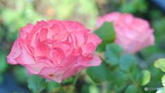 クリアーな薔薇