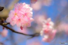 想いを託す-河津桜-