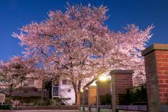 元町公園の桜1