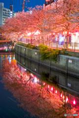 大岡川の桜9