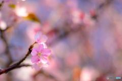 精神美-河津桜 -