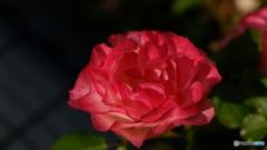 妖艶なバラ