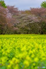 菜の花とさくらコラボ