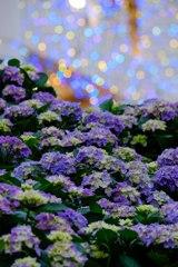 紫陽花まつり