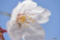 White-sakura