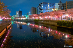 大岡川の桜14