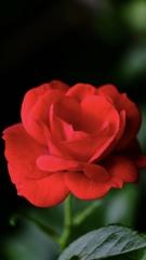 綺麗なバラも咲き誇る