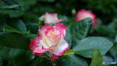 鎌倉文学館の薔薇
